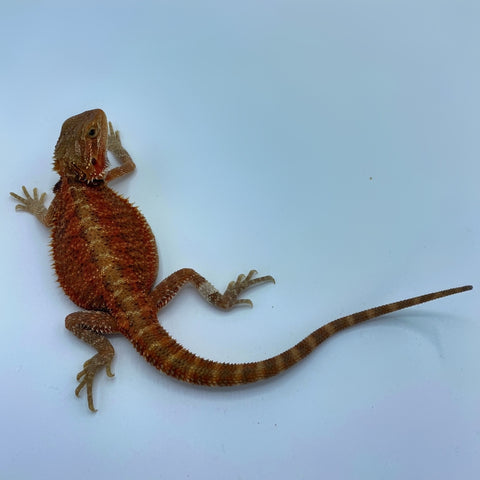Super Red Translucent Bearded Dragon (Stock BDG9)