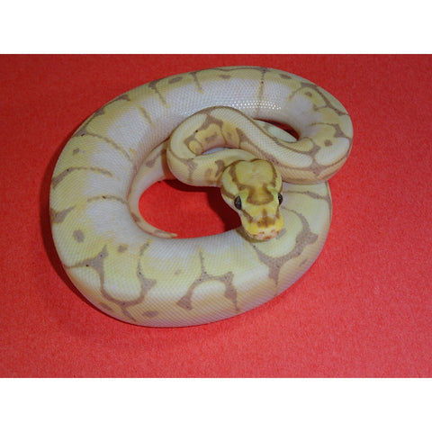 Banana Bumble Bee Ball Pythons