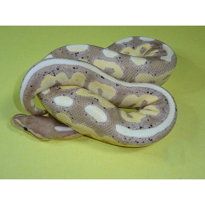 Banana Cinnamon Ball Pythons