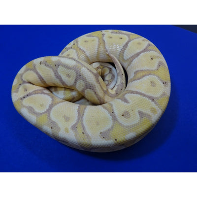 Banana Pastel Ball Pythons