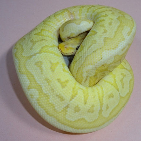 Banana Pastel Jigsaw Ball Pythons