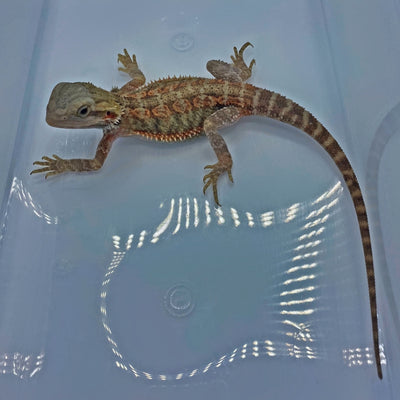 Red Stripe Hypo Translucent Bearded Dragon (Stock BDB1)