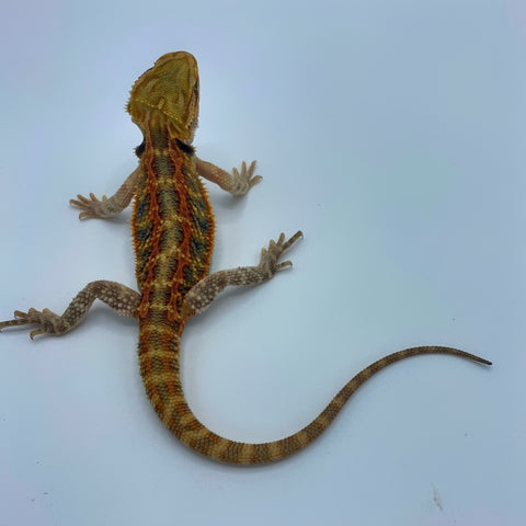 Super Red Stripe Translucent Bearded Dragon (Stock BDB3)