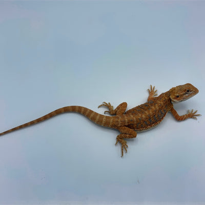 Blue Bar Orange Leatherback Bearded Dragon (Stock BDB4)