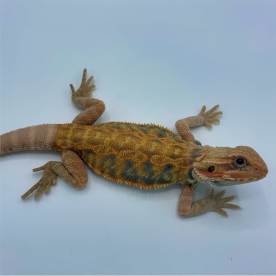 Super Orange Leatherback Translucent Bearded Dragon (Stock BDB5)