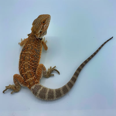 Hypo Orange Bearded Dragon (Stock BDB6)