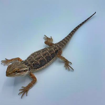 Hypo Red Bearded Dragon (Stock BDG1)