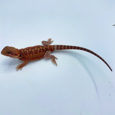 Extreme Red Hypo Translucent Leatherback Bearded Dragon (Stock BDB22)