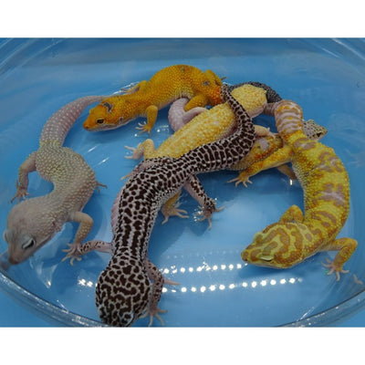 Private Stock List of Leopard Geckos