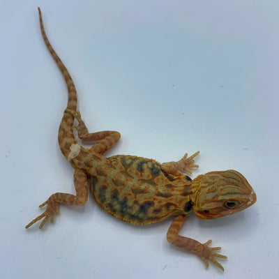 Super Orange Translucent Leatherback Bearded Dragon (Stock BD20)