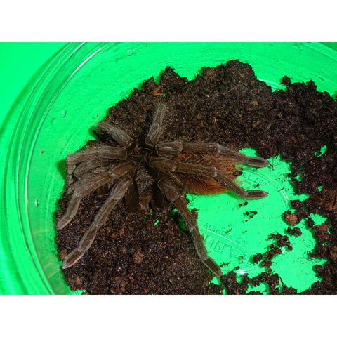 Black Fire Bird Eater Tarantulas