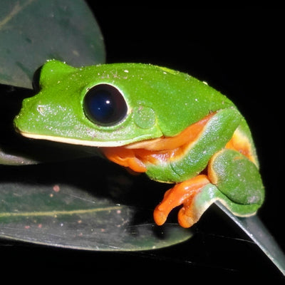 Black Eye Tree Frogs