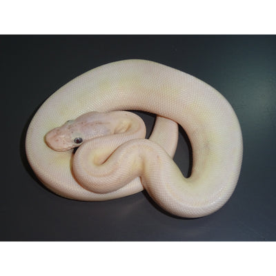 Blue Eyed Lucy Ball Pythons
