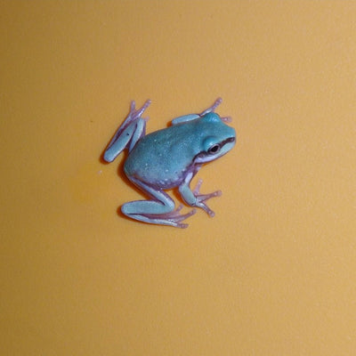 Blue White's Tree Frogs