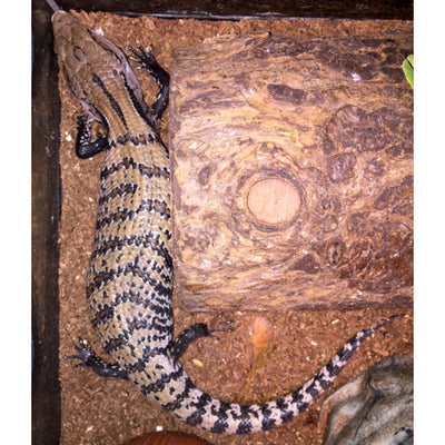 Blue Tongue Skinks