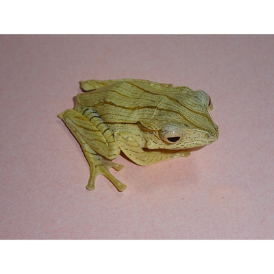 "Borneo Eared Tree Frogs (1.5"")"
