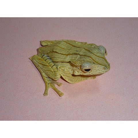 "Borneo Eared Tree Frogs (2"")"