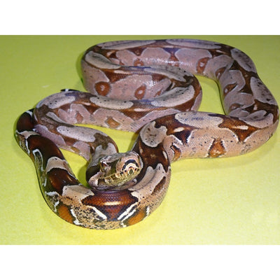 Brazilian Red Tail Boas