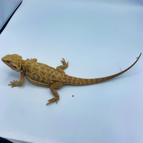 Bright Citrus Leatherback Bearded Dragon (Stock BDF25)