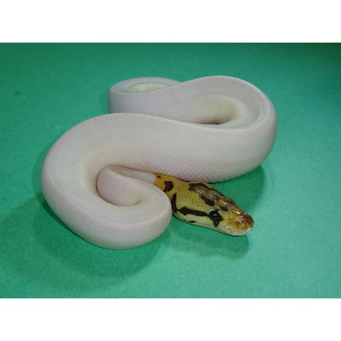 Bumble Bee Piebald Ball Pythons