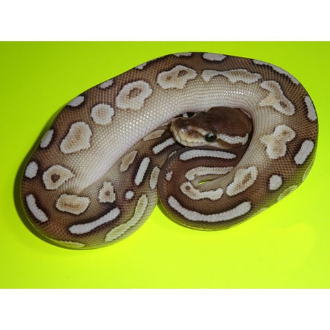 Pewter Butter Ball Pythons