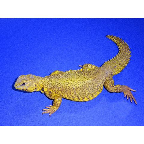 Yellow Niger Uromastyx Butter Yellow