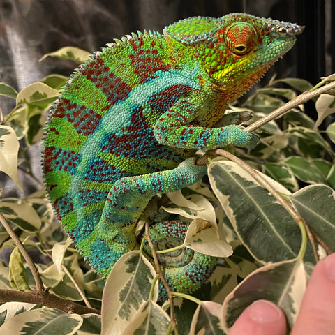 Panther Chameleons (Various Morphs Listed)