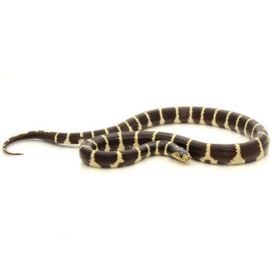 California King Snakes (various morphs)