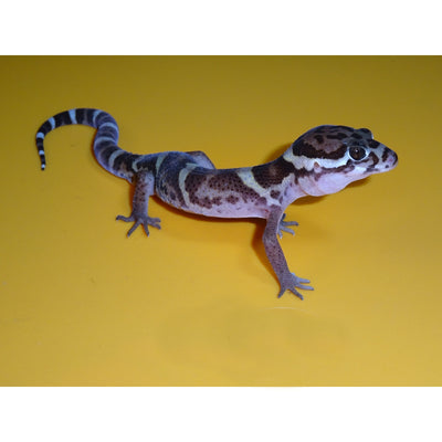Central American Banded Geckos