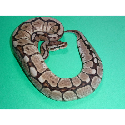 Cinnamon Spider Ball Pythons