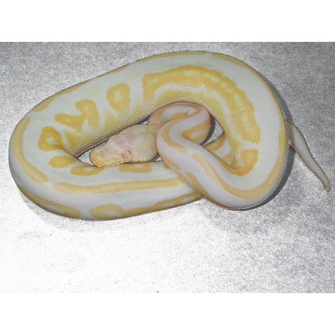 Cinnamon Albino Ball Pythons