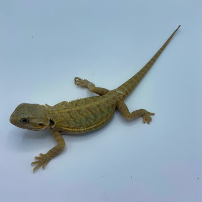 Citrus Translucent Leatherback Bearded Dragon (Stock BD21)