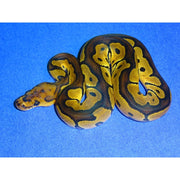 Clown Spider Ball Pythons