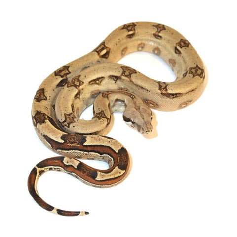 Colombian Red Tail Boas