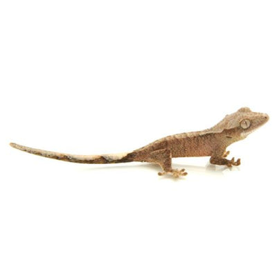 Crested Geckos - Normal Coloration