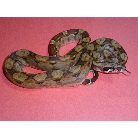 Double Het Sunglow Keltic Boas