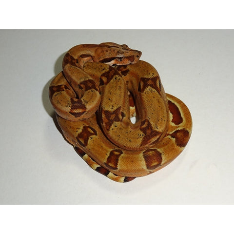 Double Het Sunglow Purple Jungle Boas