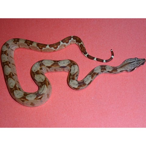 Double Het Sunglow Red Pastel Boas