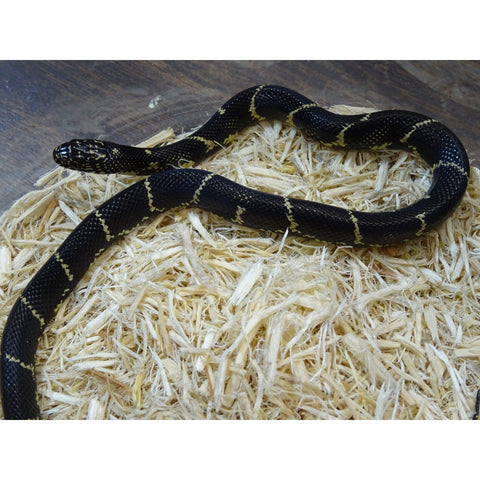 Eastern Chain Kingsnakes
