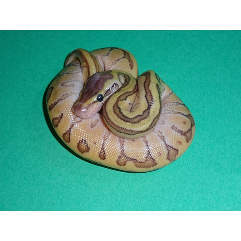 Enchi Lemon Blast Ball Pythons