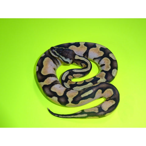 Enchi Pastel Calico Ball Pythons