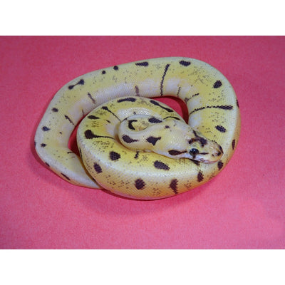 Enchi Spinner Blast Ball Pythons