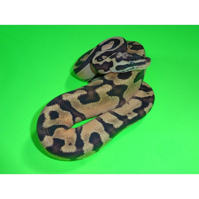 Enchi Super Pastel Ball Pythons