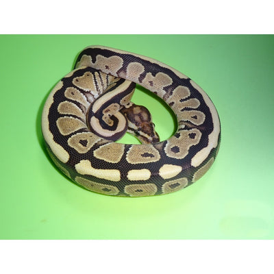 Fire Mocha Ball Pythons