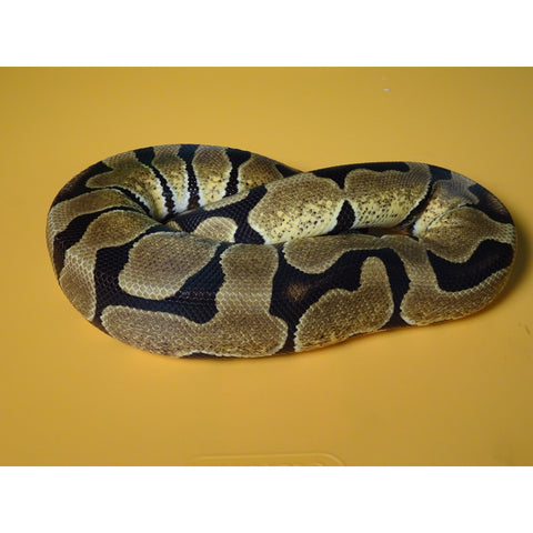Fire Spider Ball Pythons