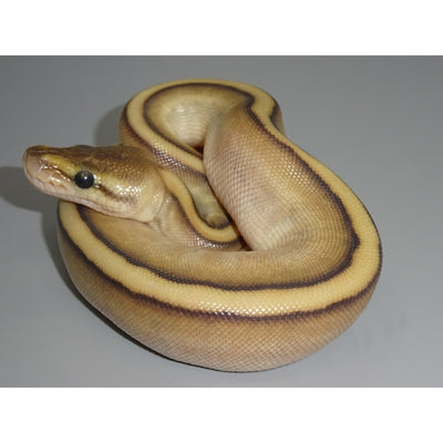 Genetic Stripe Butter Ball Python