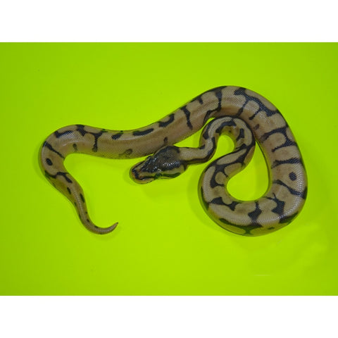 Ghost Enchi Spider Ball Pythons