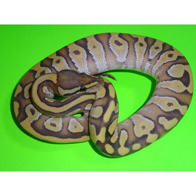 Ghost Enchi Mojave Ball Pythons