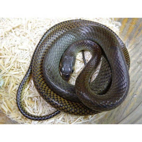 Giant Asian Ratsnakes