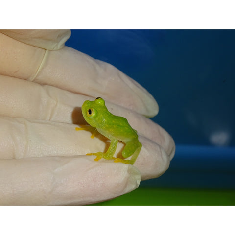 Glass Frogs (Juvenile)